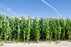 Corn field. Edge of corn field against bright blue sky Stock Images