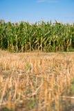 Corn field. Edge of corn field against bright blue sky Royalty Free Stock Image