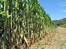 Corn Field. Corn stalks in field grow towards bright blue sky royalty free stock photography