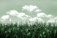 Corn Field. Field of corn - background, toned Stock Photo