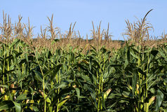 Corn field. Is green in the summer sun Royalty Free Stock Images