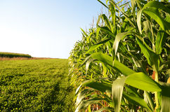Corn field. Edge of corn field with a bright blue sky at sundown Royalty Free Stock Images