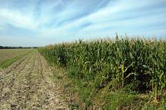 Corn Field. Photo of big corn field Stock Photography