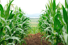 Corn field. Row of corn in farm royalty free stock images