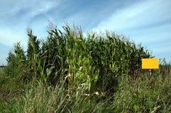 Corn Field. Photo of big corn field Stock Images