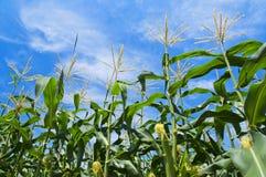 Corn Field. Corn stalks in field grow towards bright blue sky Stock Images