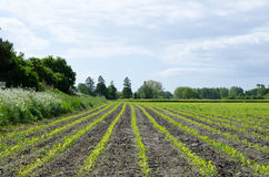 Corn field. Rows in bright backlight Royalty Free Stock Photo