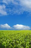 Corn field. Under blue sky Stock Images