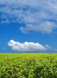 Corn field. Under blue sky Stock Photo