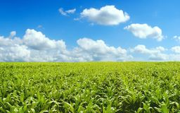Corn field. Under blue sky Royalty Free Stock Photography