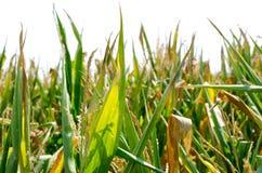 Corn field. Edge of corn field against bright sky Stock Photos