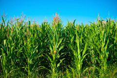 Corn Field. Against Blue Sky Stock Photo