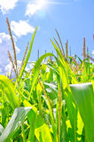 Corn field. In the summer in sunny day stock image