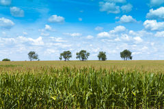 Corn Field Royalty Free Stock Photography