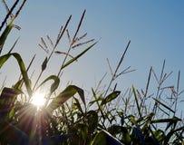 Corn field Stock Image