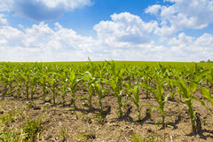 Free Corn Field Royalty Free Stock Photos - 26394778