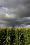 Corn Field. Royalty Free Stock Images