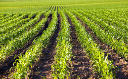 Corn field. An agricultural field on which grow up corn. small depth of sharpness Royalty Free Stock Images