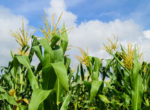 Corn Field Royalty Free Stock Photo