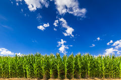 Corn Field. Growing towards bright blu sky, California, USA Stock Photography