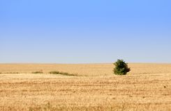 Corn field. Yellow corn field with lonely tree Stock Images