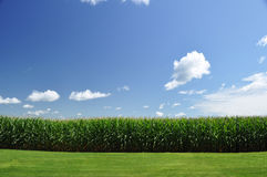 Corn field Stock Images