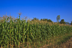 Corn field. This corn field is vivid green in the summer sun stock images