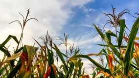 Corn field. With the sky taken in an angle of elevation Stock Photo
