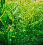 Corn field. At dusk, in summer Stock Photo