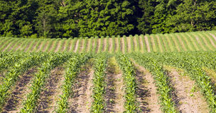 Corn Field. Wide angle shot of rows of young corn plants Stock Images