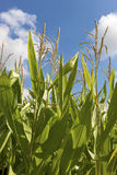 Corn field. Close to harvesting Royalty Free Stock Photo