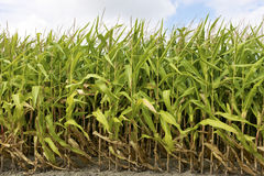 Corn field. Close to harvesting Royalty Free Stock Photography