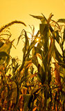 Corn field. With the sun seen through the leaves Royalty Free Stock Image