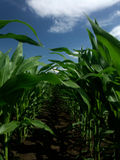 Corn field. Edge of corn field, bright blue sky and fluffy cloud Stock Images