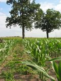 Corn  Field - 3 Royalty Free Stock Photos