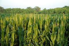 Corn Field 3 Stock Photo