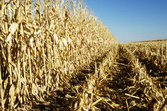 Corn in the Field 3. A field of corn ready for harvest in the fall Royalty Free Stock Photos