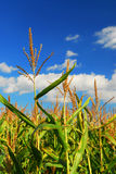 Corn field Stock Photos