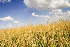 Corn field. Green and gold field full of corn plants Stock Photography