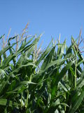 Corn Field. A close view of a corn field in Hawkes Bay New Zealand Stock Photography