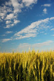 Corn field 4 Stock Photo