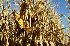 Corn in the Field 4 Stock Images