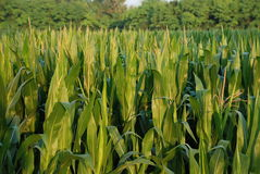 Corn Field 5 Royalty Free Stock Images