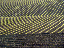 Corn Field. Newly planted corn field crop at the end of a day Stock Photography