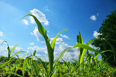 Corn Field. With a blue cloudy background stock photos