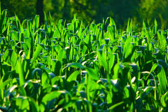 Corn field. At sunset, with thick, green corn leaves Royalty Free Stock Photos