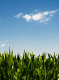 Corn field. A corn field against a blue sky with clouds. The strength of the image is the chromatic contrast between green and blue stock image