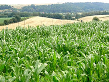 Corn field. Green field oh the corn. Polish country landscape Royalty Free Stock Photography