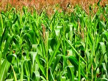 Free Corn Field Royalty Free Stock Image - 5937406