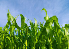 Corn Field. Under blue sky Royalty Free Stock Images